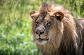 животные, львы, грива, морда, кошка, хищник