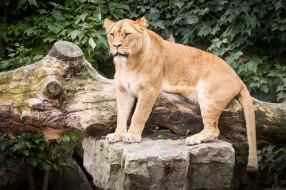 животные, львы, взгляд, отдых, животное, девочка, красотка, львица