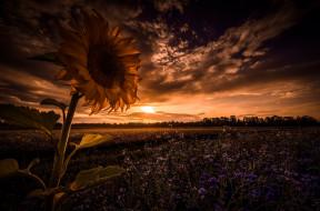 ночь, подсолнух, поле