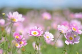 Клематис, цветение, цветы, лепестки, цветение