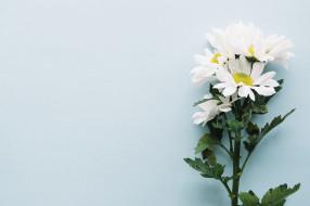 ветка, декор, фон, хризантемы, цветы