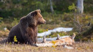 медведь, животное, хищник, Peter Grischott, брёвна, лес, природа