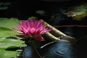 цветы, лилии водяные,  нимфеи,  кувшинки, кувшинка, вода, листья, цветение