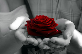 ладони, роза