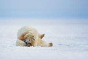 белые медведи, природа, зима