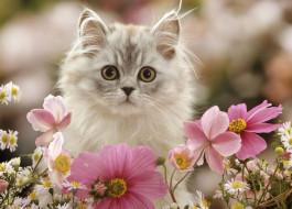 пушистый, космея, цветы, котенок