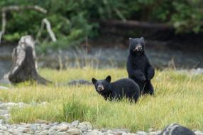 природа, поле, пара, медведи, черные