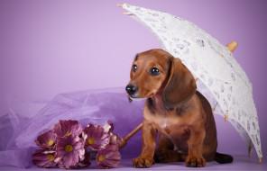 сиреневый фон, щенок, такса, зонт, цветы