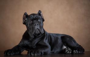 фон, черный, собака, пес