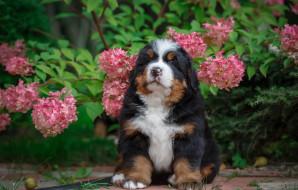 природа, цветы, щенок, гортензия