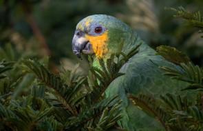 птица, взгляд, зеленый, ветки, дерево, природа, попугай
