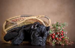 собака, ягоды, фон, корзина, пес, черный