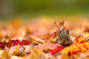 природа, осень, листья, белка