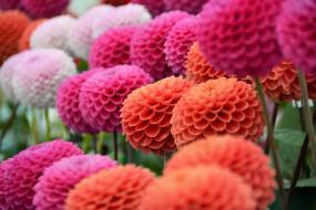 георгин, цветение, лепестки, бутон