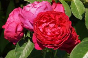 бутон, роза, bloom, Bud, rose, цветение