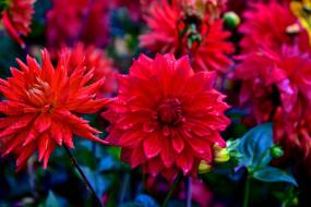 красный, лепестки, бутоны, цветение, георгин