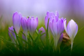 цветы, цвет, цветы, цветение, крокусы