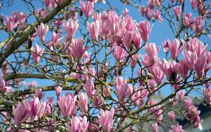 цветение, весна, бутоны