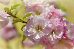 цветение, цветы, весна, природа, красота, май, праздник, миндаль