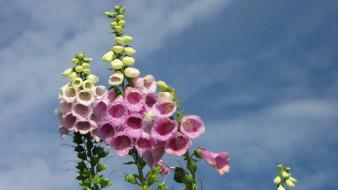 цветы, дигиталис , наперстянка