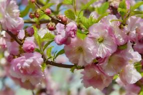 природа, миндаль, цветение, цветы, весна, красота, май, праздник