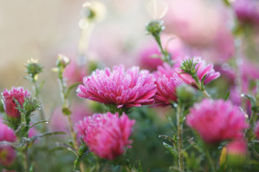 розовый, цветы, холод, осень, изморозь