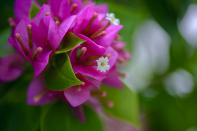 белые, листья, цветение, цветы, розовы