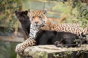 малыш, ягуары, природа, мама, кошки