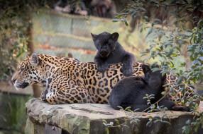 кошки, ягуары, малыш, природа, мама
