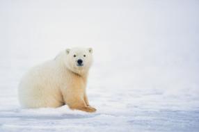 мишка, белый, снег, природа, зима