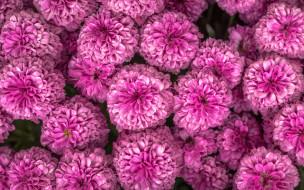много, розовый