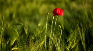 пшеница, цветок, красный мак, поле