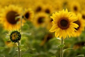 подсолнухи, солнечно, лето, ярко, тепло, природа