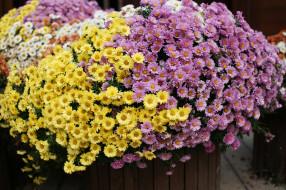 цветение, клумба, хризантемы, цветы, осень