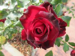 осень, розы