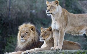 животные, львы, трое