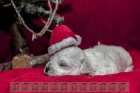 шапка, 2018, собака, сон