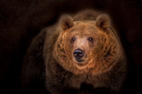 портрет, тёмный фон, топтыгин, медведь