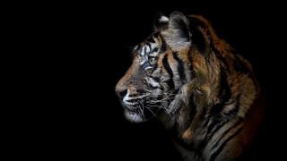 тигр, фон, зверь