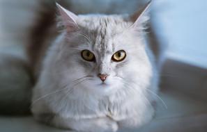 животные, коты, кошка, взгляд, фон