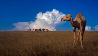 природа, верблюды, небо