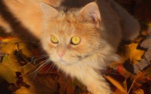 животные, коты, котейка, кот, листья, взгляд, рыжий, мордочка