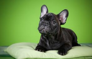 животные, собаки, щенок, подушка, фон