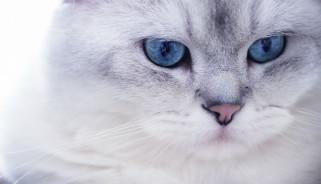 животные, коты, морда, взгляд