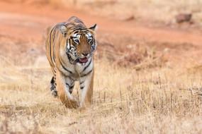природа, тигр, животное