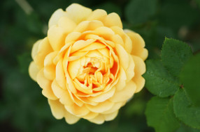 Bud, petals, leaves, blossoms, роза, бутон, лепестки, листья, цветение, rose