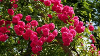 роза, бутон, лепестки, листья, цветение, rose, Bud, petals, blossoms, leaves