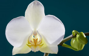 лепестки, цветок, орхидея