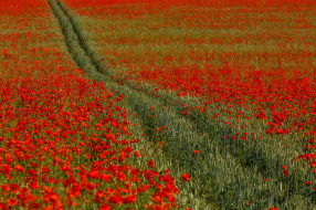 цветы, природа, маки, поле, пшеница