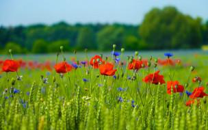 маки, природа, поле, луг, лепестки